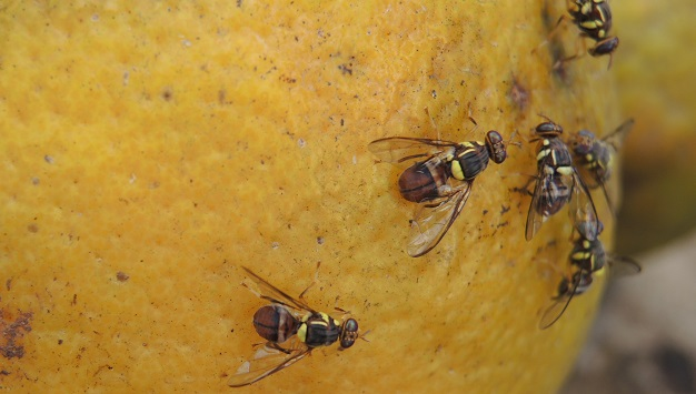 New regulations against the fruit fly pest in mango imported from ACP countries
